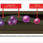 Erythropoiesis Mechanism of Action