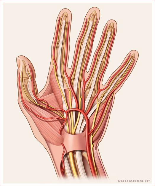 Anatomy Of The Hand Graham Studios