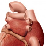 Rear View of Heart