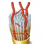 Nerve Fascicles